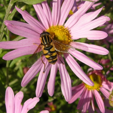 Aster grand d'automne Novi-belgii Fellowship