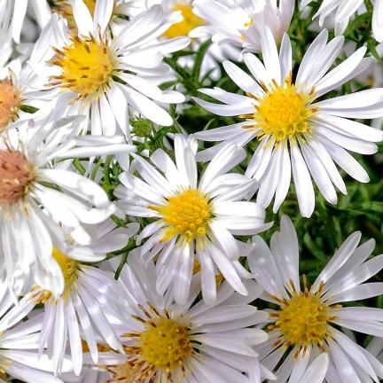 Aster grand d'automne Novi-belgii White Ladies