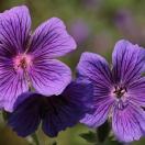 Géranium vivace magnificum Rosemoor