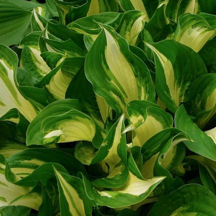 Hosta à feuilles ondulées undulata Variegata