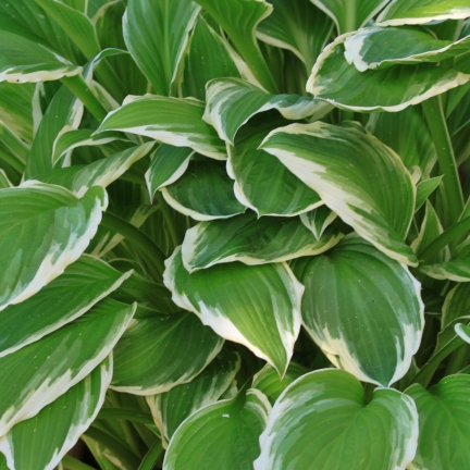 Hosta x Wide Brim