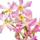 Jasmin étoilé asiaticum Pink Showers®