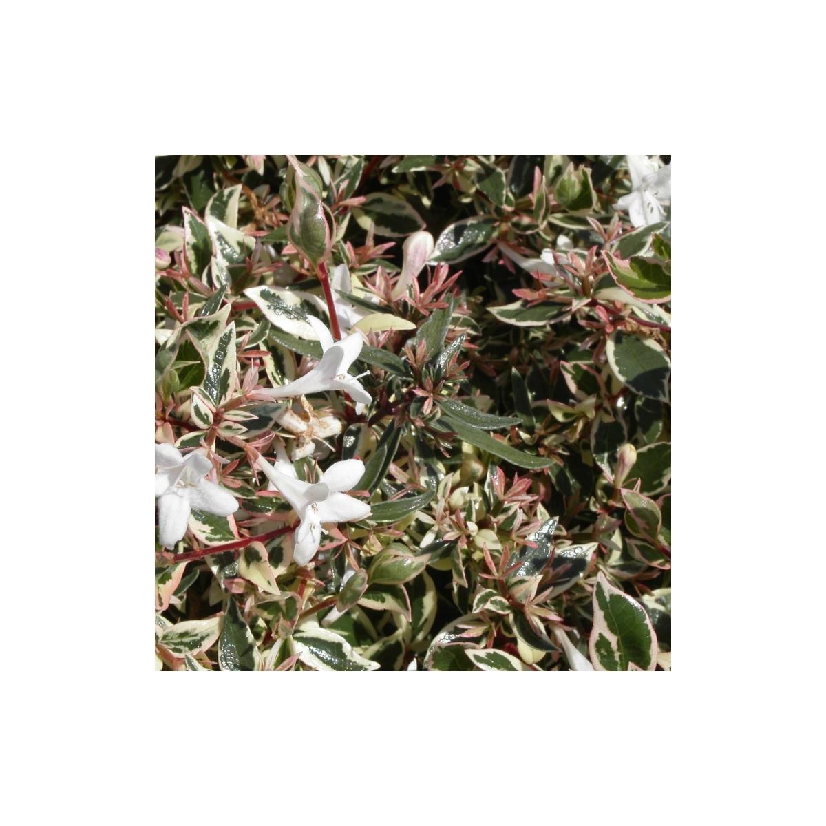 Abélie à Grandes Fleurs Grandiflora Confetti Conti