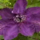 Clématite Amethyst Beauty™ 'Evipo043'