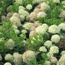 Hortensia paniculata Little Lime® 'Jane'