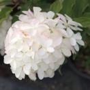 Hortensia paniculata Phantom