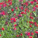 Sauge x jamensis Red Velvet
