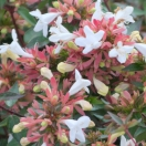 Abélie à grandes fleurs grandiflora Sherwood