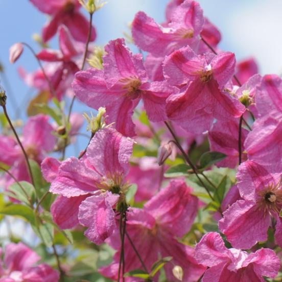 Clématite viticella Pink Mink®