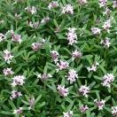 Daphne x transatlantica Pink Eternal Fragrance 'Blapink'