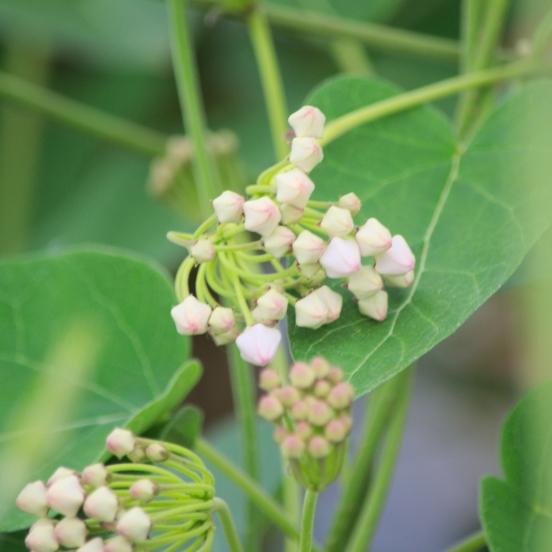 Dregea sinensis