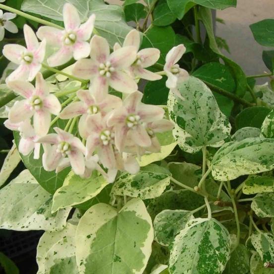 Dregea sinensis Variegata (Star Shower)