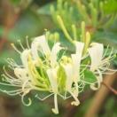 Chèvrefeuille japonica Sweet Isabel® 'Genbel'
