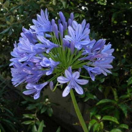 Agapanthe umbellatus Bleue