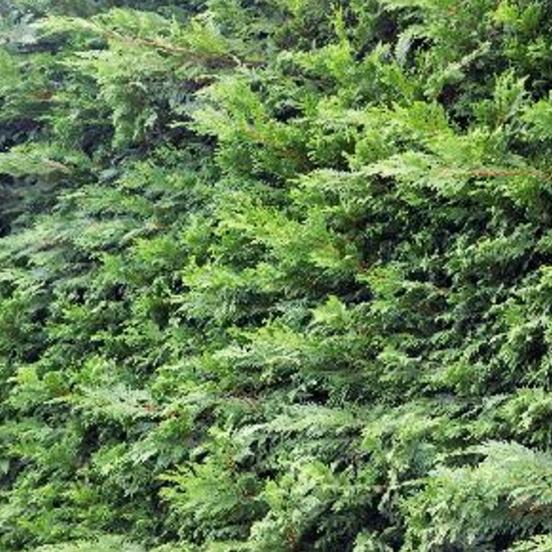 Cyprès de Leyland leylandii Leylandii 2001
