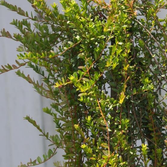 Canneberge à gros fruits, Airelles, Cranberry macrocarpon Stevens