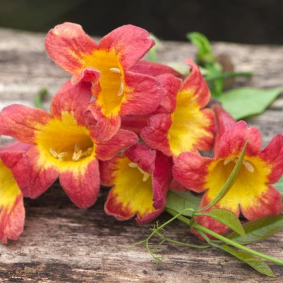 Bignone capreolata Tangerine Beauty