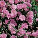 Rosier arbustif x polyantha The Fairy