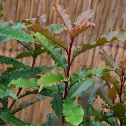 Photinia serratifolia Crunchy® 'Rev100'