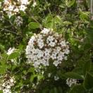 Viorne de Burkwood x burkwoodi