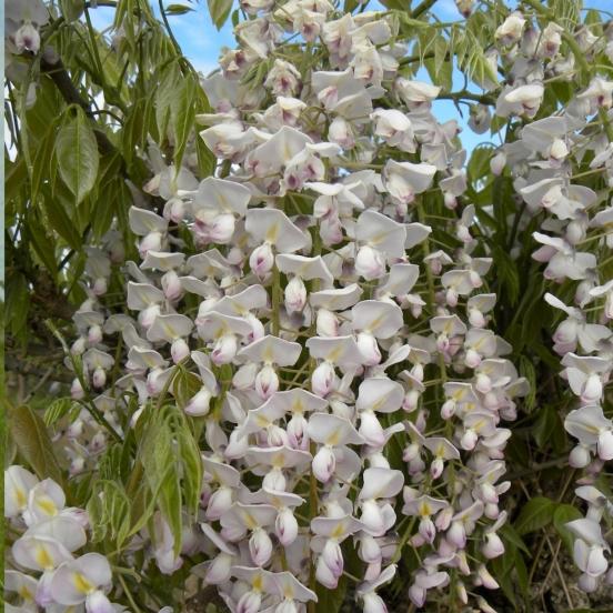 Glycine du Japon floribunda Lipstick