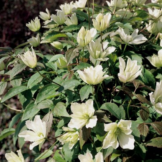 Clématite montana Primrose Star®