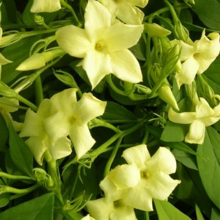 Jasmin blanc officinalis Clotted Cream® 'Devon Cream'