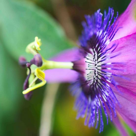 Passiflore x belotii Purple passion®