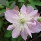 Clématite montana Pink Starlight®