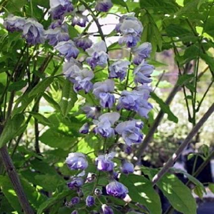 Glycine du Japon floribunda Ed's Blue®