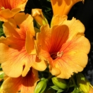 Bignone x tagliabuana Summer jazz Gold®