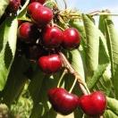 Cerisier cerassus Bigarreau Burlat